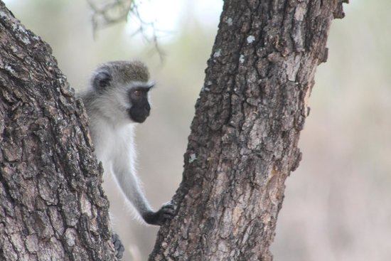 Swara Plains Acacia Camp: Monkey