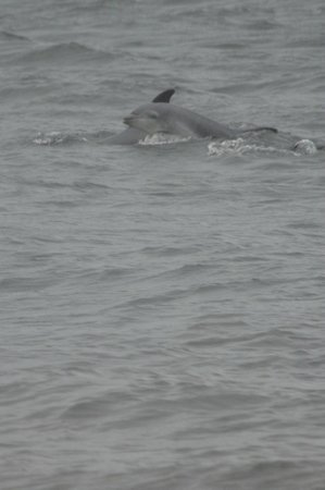 Chanonry Point dolphin