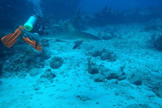 Simpson Bay, St. Martin: Sandra & grey reef shark