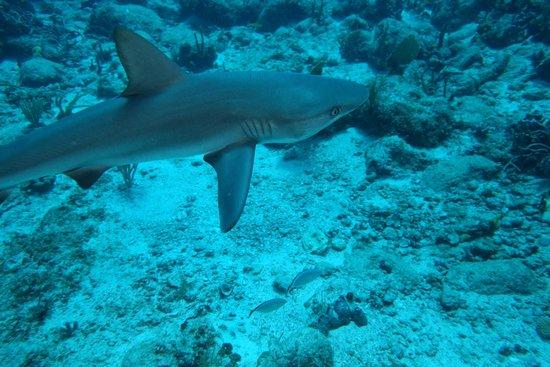 Simpson Bay, St. Martin: grey reef shark