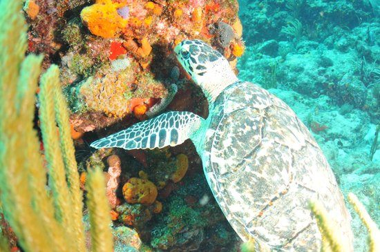 Simpson Bay, St. Martin: turtle feasting