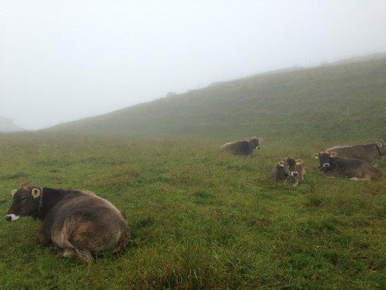 Rigi: Cows