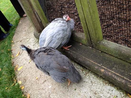 Woburn Abbey and Gardens : Guinea fowl