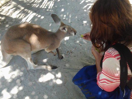 Jungle Island: kangaroo