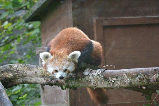 Highland Wildlife Park: Red panda