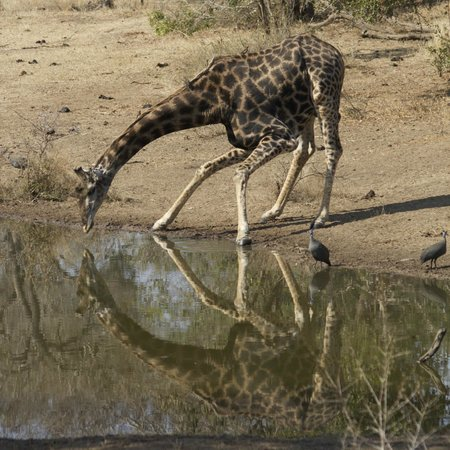 Serondella Game Lodge: Giraffe at the watering hole, as taken from the main lodge deck.