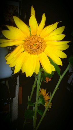 Emilys: A lovely sunflower
