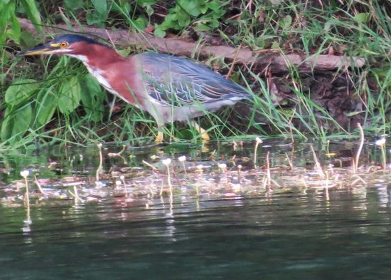 Indian Creek Lodge: A Green Heron hunts on the opposite bank