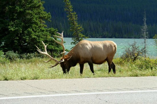 Whistlers Campground: Bull ellk