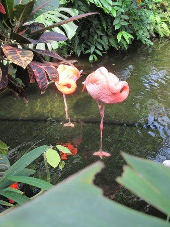 Victoria Butterfly Gardens: Flamingos