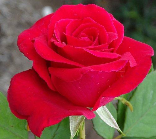 The Arboretum: lots of roses