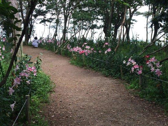 Mt. Hakodate: 唯一、森の小道だけに残るユリ。 甘い香りに包まれます。