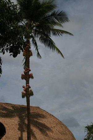 Polynesian Cultural Center: Так добывают кокосы