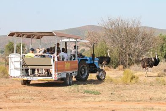 Safari Ostrich Show Farm: Ostriches very close to you on tractor tour #Safari Ostrich Farm