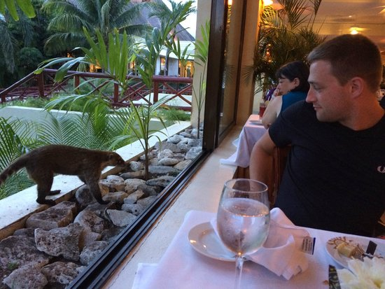 Grand Bahia Principe Tulum: Native Coati joining me for dinner at Akumal buffet