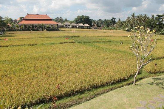 Alaya Resort Ubud: Rice paddy