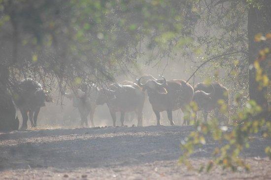 Gonarezhou National Park: buffalo