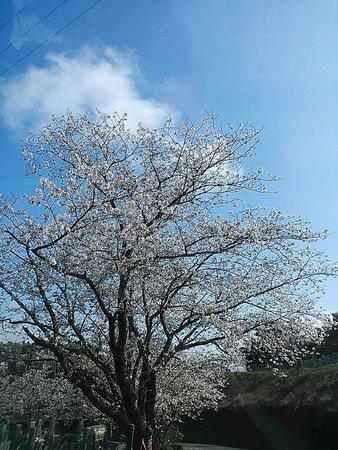 藤川天神(臥竜梅)
