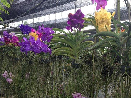 Phuket Orchid Farm : ванда
