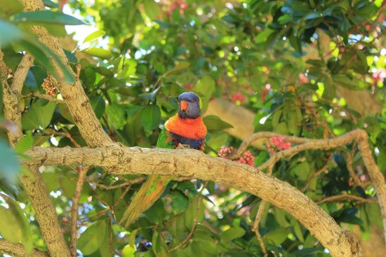 The Royal Botanic Garden : Lorikeet