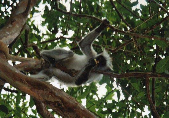 Queen of Sheba Beach Hotel: Red Colobus Monkeys