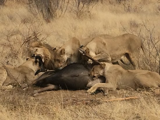 Rhulani Safari Lodge : Lion kill