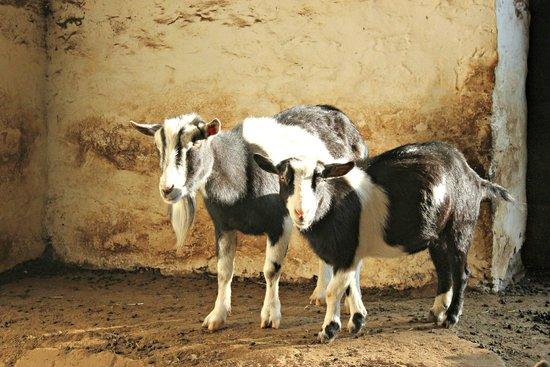 Ash Mill Farm: Goats posing