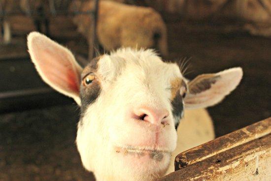 Ash Mill Farm: Goat