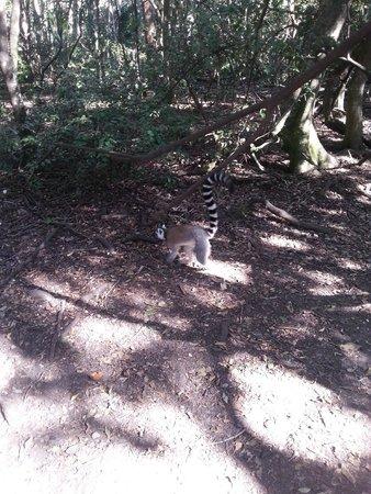 Monkeyland Primate Sanctuary: King Julian