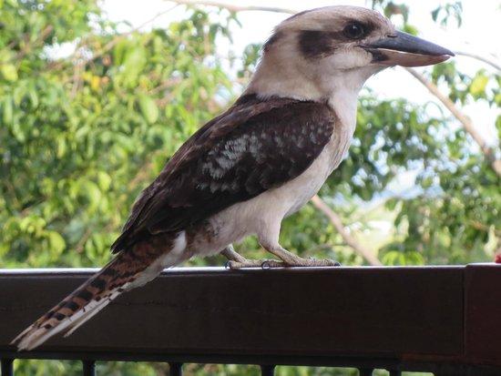 Kookas Bed & Breakfast: Kookaburra im Kookas