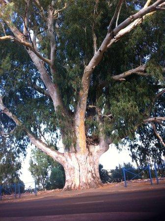 Les Hauts de Porto Vecchio : Il mega Eucaliptus dove girare dalla strada statale verso il residence