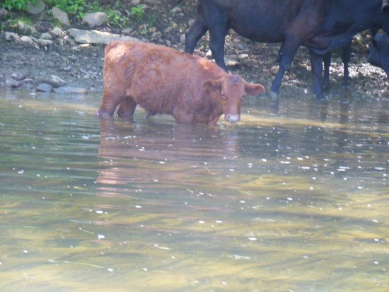 Shenandoah River Outfitters, Inc. : Cows making water dirty