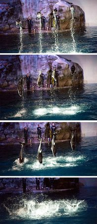 Shedd Aquarium : Dolphins leaping for the show finale