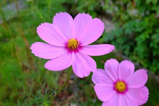 Domacinstvo Milojevic: Cosmos in the garden