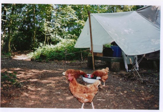 Eco Camp UK - Wild Boar Wood Campsite: Tent and chickens