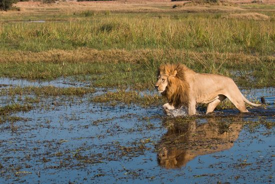 Great Plains Conservation Duba Plains Camp: Tsaro male in water