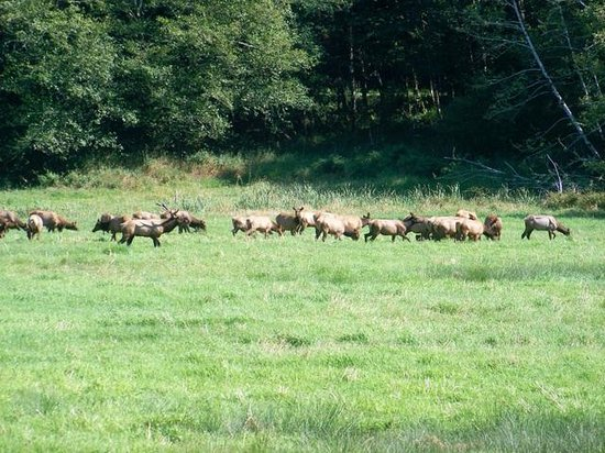 Dean Creek Elk Viewing Area: A large herd close to the road
