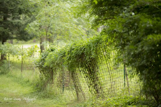 Yaddo Gardens - Vines