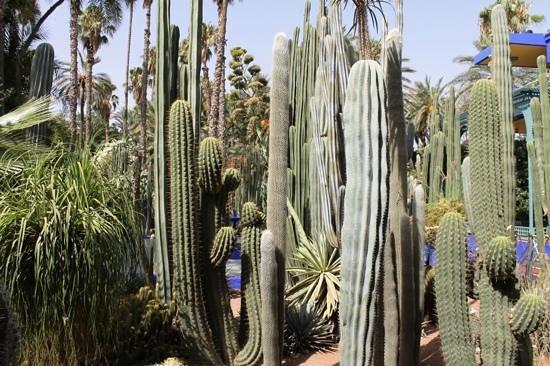 Jardin Majorelle : Cactus