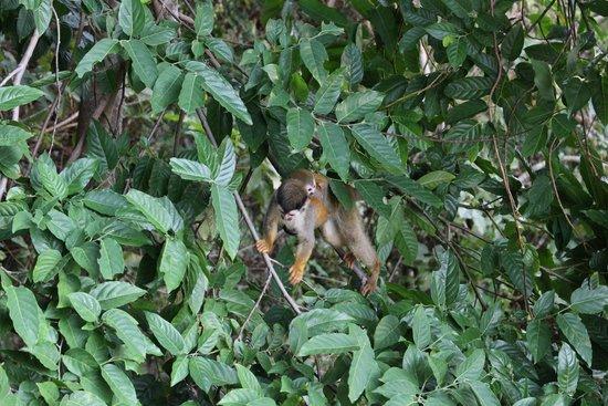 Hotel Parador: squirrel monkey