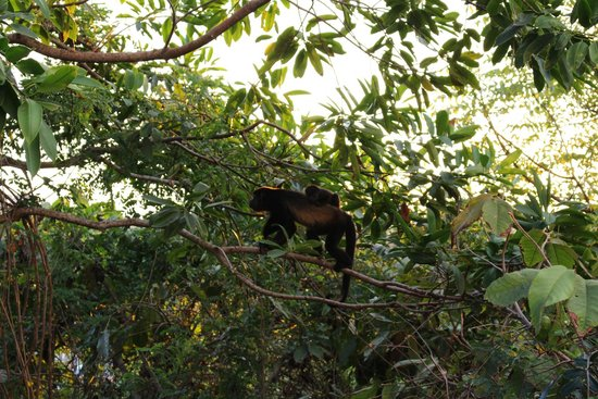 Parador Resort and Spa: howler monkey