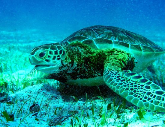 Neptune's Cove: Green Sea Turtle at Hol Chan