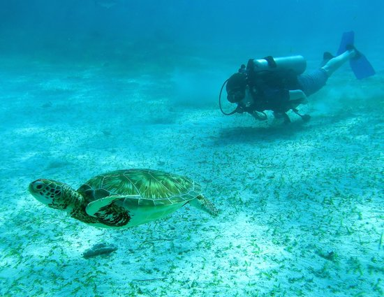 Neptune's Cove: Green Sea Turtle and I at Hol Chan