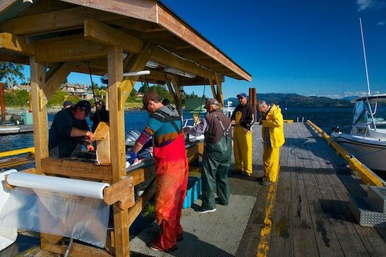 Painter's Lodge: Salmon fishing - cleaning the catch