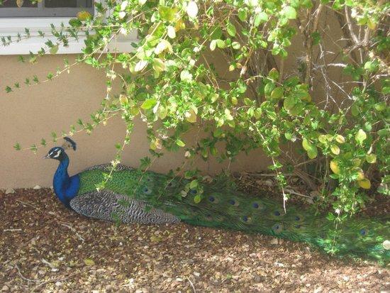 Los Poblanos Historic Inn & Organic Farm: Peacock