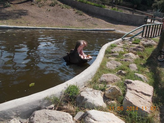 Parc Zoologique de Frejus : L'hippopotame qui tape la pose