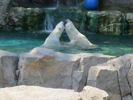 Cincinnati Zoo & Botanical Garden: Polar Bears at play