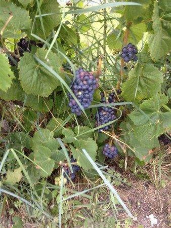 La Grainetiere Camping : Grapes