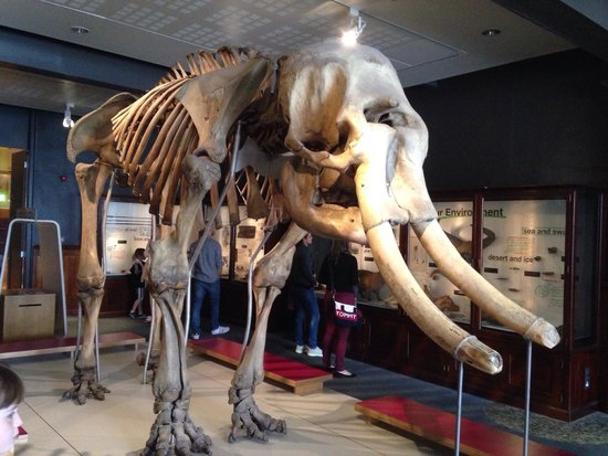The Manchester Museum: A full skeleton of an elephant.