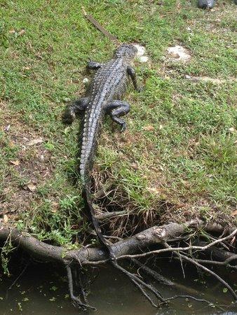 Jean Lafitte Swamp Tours : Gator sitting on the riverbank